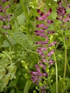 plantes vivaces fleuries du montbronnais. Black Bedroom Furniture Sets. Home Design Ideas